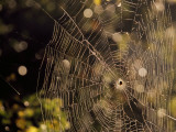 A Spider Sitting in the Middle of it's Orb Web Fotografisk tryk af Raymond Gehman