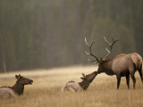 Bull Elk Nuzzles a Cow in Yellowstone's Elk Park, a Meadow Near the Gibbon River Photographic Print by Raymond Gehman