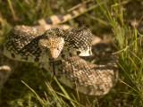 A Bull Snake Hides in the Little Missouri National Grasslands Photographic Print by Phil Schermeister
