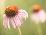 Close Up of Purple Coneflower Plants Shot in the Grasslands Lámina fotográfica por Phil Schermeister