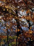 Maple Tree in Autumn Hues Fotografisk tryk af Raymond Gehman