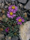 Pink Mountain Townsendia Brighten a Rocky Outcrop Photographic Print by Raymond Gehman