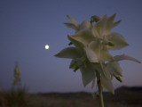 Close Up of Yucca Plant Flowers Taken at Night with the Moon Behind Lámina fotográfica por Phil Schermeister