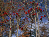 Branches of Bright Red Dogwood Berries Photographic Print by Raymond Gehman