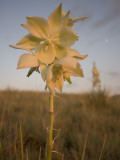 Close Up of a Yucca Plant Flower Growing in the Grasslands Lámina fotográfica por Phil Schermeister