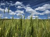 Wheat Fields in the Palouse's Rich Agricultural Soil Fotografisk trykk av Jim Richardson