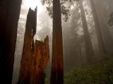 Sunlight on Coast Redwood Trees, Sequoia Sempervirens, and Fog Lámina fotográfica por Phil Schermeister