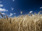 Wheat Grows Throughout Montana Detail of Wheat with Blue Sky Overhead Photographic Print by Michael Hanson