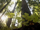 Redwood Sorrel Plants, Oxalis Oregana, in the Forest Photographic Print by Phil Schermeister