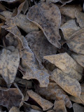 Frosty Leaves Lay on the Ground in Early Morning at Yosemite Valley Lámina fotográfica por Phil Schermeister