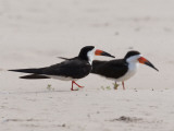 A Pair of Black Skimmers, Rhynchops Niger, Walking in the Sand Photographie par Roy Toft