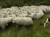 A Shepherd Dog at Work Herding a Flock of Sheep Photographic Print by Jim Richardson