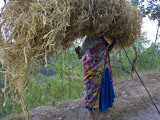 An African Woman Carrying a Large Bundle of Grasses on Her Head Photographic Print by Beverly Joubert