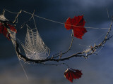 A Orb-Weaving Spider's Web on a Sycamore Tree Branch Fotografisk tryk af Raymond Gehman