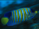 A Regal Angelfish Swimming in Blue Water Photographic Print by Tim Laman