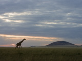 A Giraffe Walking on the Savanna at Twilight Photographic Print by Beverly Joubert