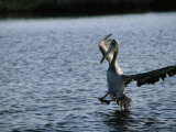 A Pelican Comes in for a Landing Photographic Print by Jodi Cobb