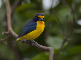 Portrait of a Male Violaceous Euphonia, Euphonia Violacea, in a Tree Photographic Print by Roy Toft