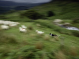 A Time Exposure of a Sheep Dog Herding Sheep Photographic Print by Jim Richardson