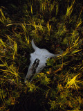 The Sun Glows on a Bleached Bison Skull Laying in the Grass Photographic Print by Raymond Gehman