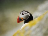 The Shaint Islands are Breeding Grounds for Puffins Photographic Print by Jim Richardson