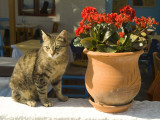 A Cat Sits on a White Stucco Wall Next to a Potted Kalanchoe Plant Photographic Print by Richard Nowitz