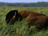 A Bison Is All But Hidden in Tall Grass Photographic Print by Raymond Gehman
