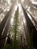 Coast Redwood Trees, Sequoia Sempervirens, in Fog Lámina fotográfica por Phil Schermeister