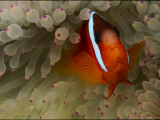 A Tomato Clownfish Amid the Stinging Tentacles of a Sea Anemone Photographic Print by Tim Laman