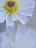 Close Up White Tackstem, Calycoseris Wrightii, a Wildflower Photographic Print by Phil Schermeister