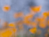 Artistic Shot of California Poppies Growing in the Foothills Photographic Print by Phil Schermeister