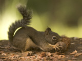 A Douglas Squirrel Gnaws on a Pine Cone from the Giant Sequoias Photographic Print by Phil Schermeister