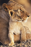 Lioness &amp; Cub Poster
