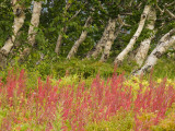 Birch Trees and Flowering Tundra Plants in Kronotsky Nature Reserve Photographic Print by Michael Melford
