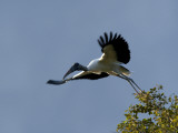 Wood Stork, Mycteria Americana, Leaping into Flight from a Tree Photographie par Roy Toft