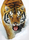 TIGER SNOW, 3-D Poster Posters