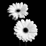 Gerbera Portrait I Prints by Jeff Maihara