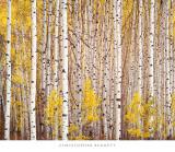 Christopher Burkett - Aspen Grove, Colorado Obrazy