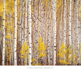 Aspen Grove, Colorado Láminas por Christopher Burkett