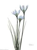 Blue Floral X-ray, White Rain Lily Prints by Albert Koetsier