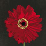 Midnight Gerbera III Prints by Robert Lacie