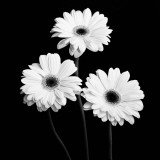 Gerbera Portrait II Prints by Jeff Maihara