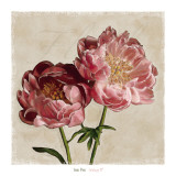 Peony II Prints by Janel Pahl