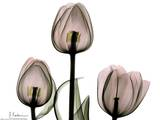 Trio of Tulips II Prints by Albert Koetsier