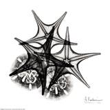 X-ray Starfish and Sanddollar Prints by Albert Koetsier