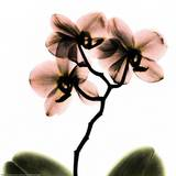 Crystal Flowers X-ray, Orchid Posters by Albert Koetsier