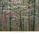 Pink and White Dogwoods, Kentucky Prints by Christopher Burkett