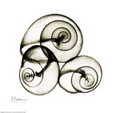 X-ray Snail Shells, Sepia Poster by Albert Koetsier