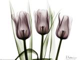 Trio of Tulips I Posters by Albert Koetsier