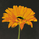 Midnight Gerbera II Print by Robert Lacie